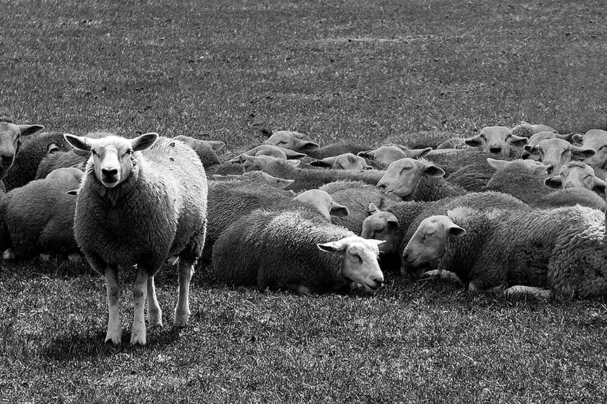 Lone sheep standing out amongst sleeping sheep